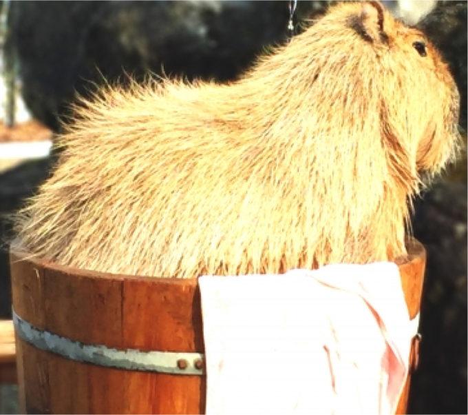 カピパラ 入浴 桶