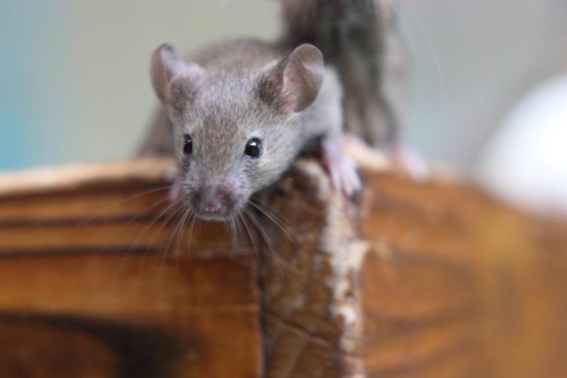 マウス ねずみ