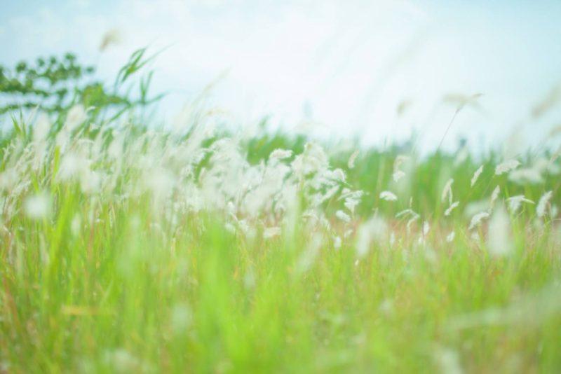 すすき 草原 風