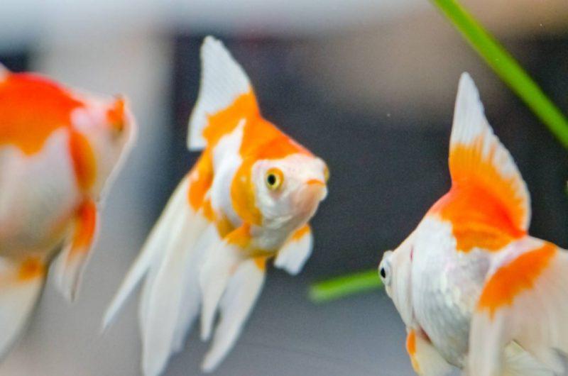 金魚 観賞魚 水槽